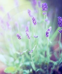 french-lavender-fragrance