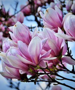 jasmine and magnolia fragrance