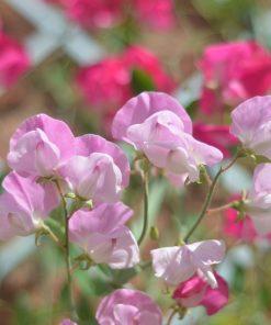sweet pea and jasmine fragrance