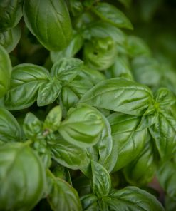 basil and cucumber fragrance