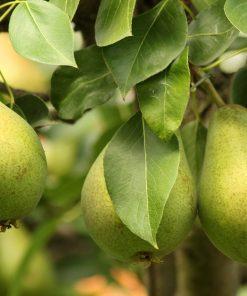 English Pear & Freesia fragrance 1