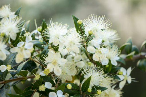 lemon scented myrtle fragrance